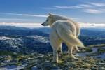 498117-Loup