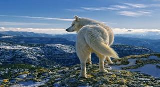 498117-wolf